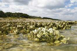A package of proposals aimed at protecting and enhancing Texas' ecologically and economically valuable but increasingly beleaguered oyster reefs would prohibit harvest of oysters within 100 yards of shore and in seven minor bays.