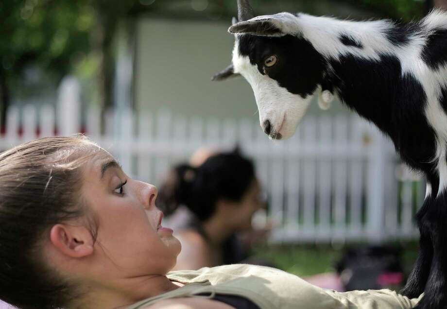 Michaela Serpas of League City isn't so sure the goat will stay on her stomach as she is in a reverse table. Photo: Elizabeth Conley, Staff / © 2017 Houston Chronicle