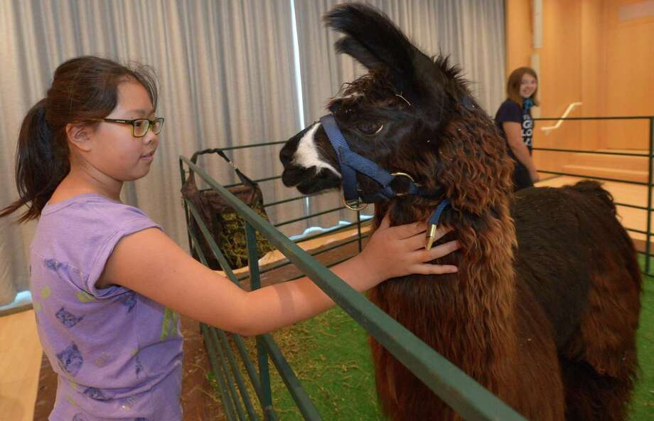Cyndi Chen, 9, pets Dainen the llama as children meet and greet llamas, alpacas, and sheep to learn about how the animals provide fleece and wool during the Farm to You Revue program at the Wilton Library Wednesday, Aug. 9, in Wilton. There will be a spinning demonstration so kids can see the process of turning fleece and wool into items such as sweaters and blankets. Photo: Erik Trautmann / Hearst Connecticut Media / Norwalk Hour