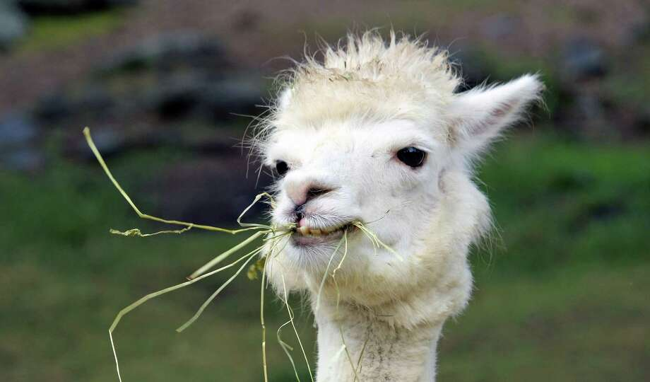 New California Fire >> Stressed UC Berkeley students can hug a llama during 'Llamapalooza' - SFGate