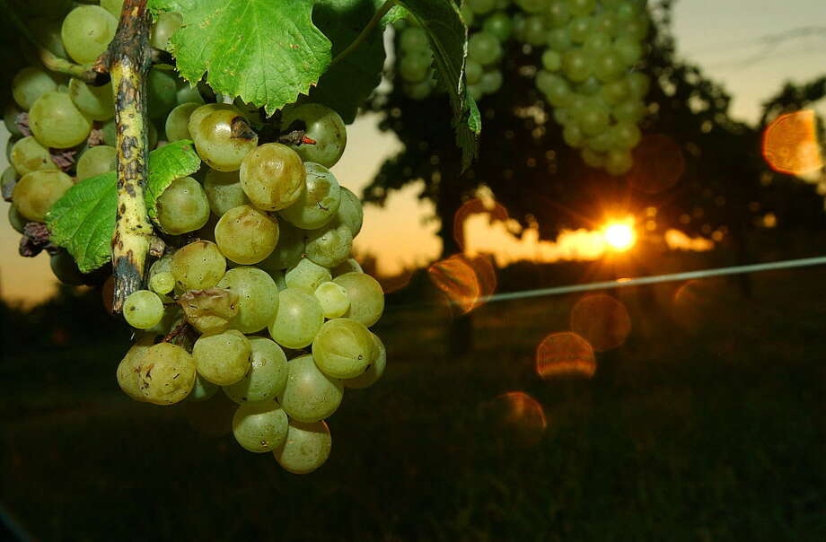 As the sun rises the sugar content of grapes lower making night harvesting of white grapes more desireable at Becker Vineyards in Stonewall,Texas. Photo: GLORIA FERNIZ, STAFF / SAN ANTONIO EXPRESS-NEWS