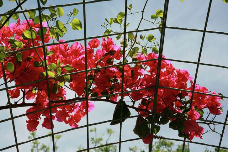 View of bougainvillea on top of wire arbor structure.