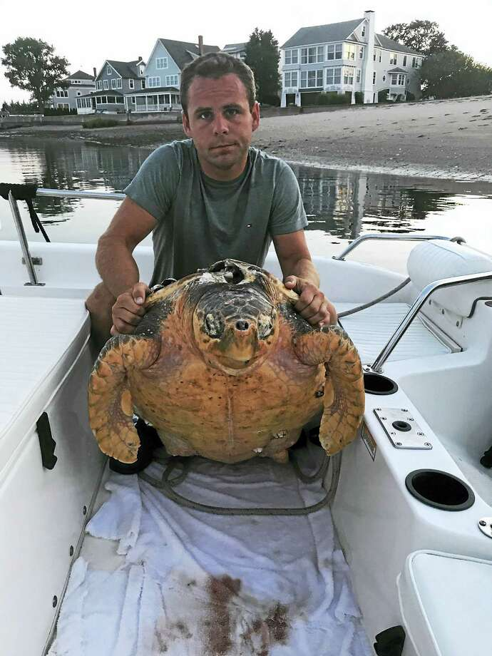 Hadley Rentas holds a dead sea turtle found in Branford waters this week. Photo: CONTRIBUTED PHOTO / KENNY RENTAS
