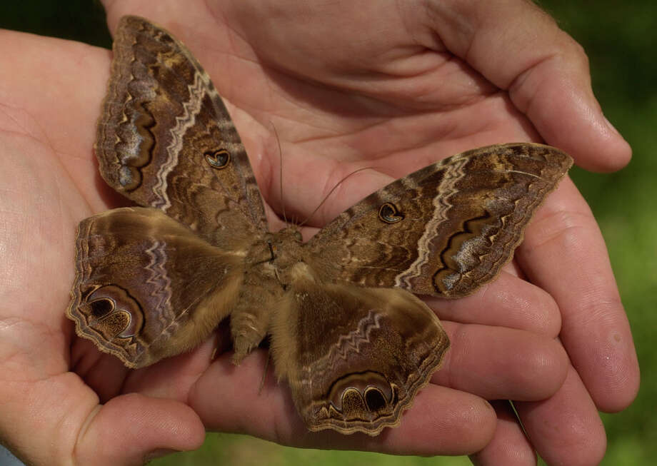 Eddie Holik, head horticulturist with the Cockrell Butterfly Center, holds a female black witch month specimen at the Houston Museum of Natural Science, One Hermann Circle, Friday, Aug.1, 2003. After Hurricane Claudette made landfall, hundreds of this moths were found in Port O'Connor and Port Lavaca. This is one from a museum display not those found after the hurricane.  (Melissa Phillip/Chronicle)  HOUCHRON CAPTION (08/02/2003):  The recent hurrican has left an infusion of huge but harmless black witch moths, an insect associated with death in Latin American folklore.  CITY & STATE / Claudette's gift: gigantic moths. Photo: Melissa Phillip, Staff / Houston Chronicle
