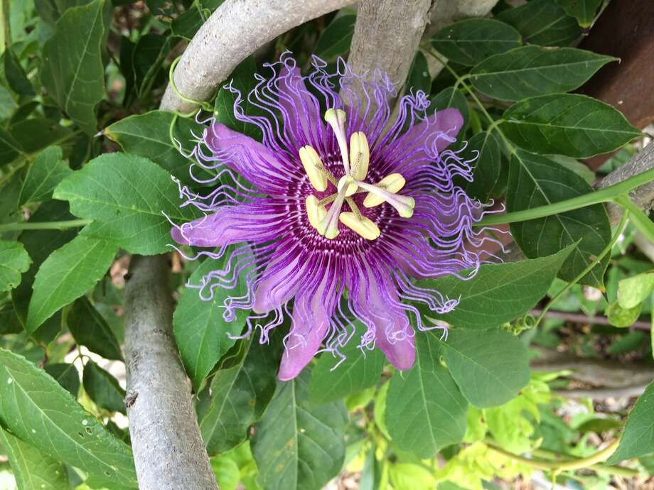 Twila Tate's passion flower vine is in full bloom in the Butterfly Garden at Brenham Elementary School. Photo: Twila Tate