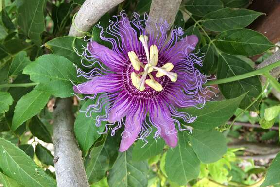 Twila Tate's passion flower vine is in full bloom in the Butterfly Garden at Brenham Elementary School.