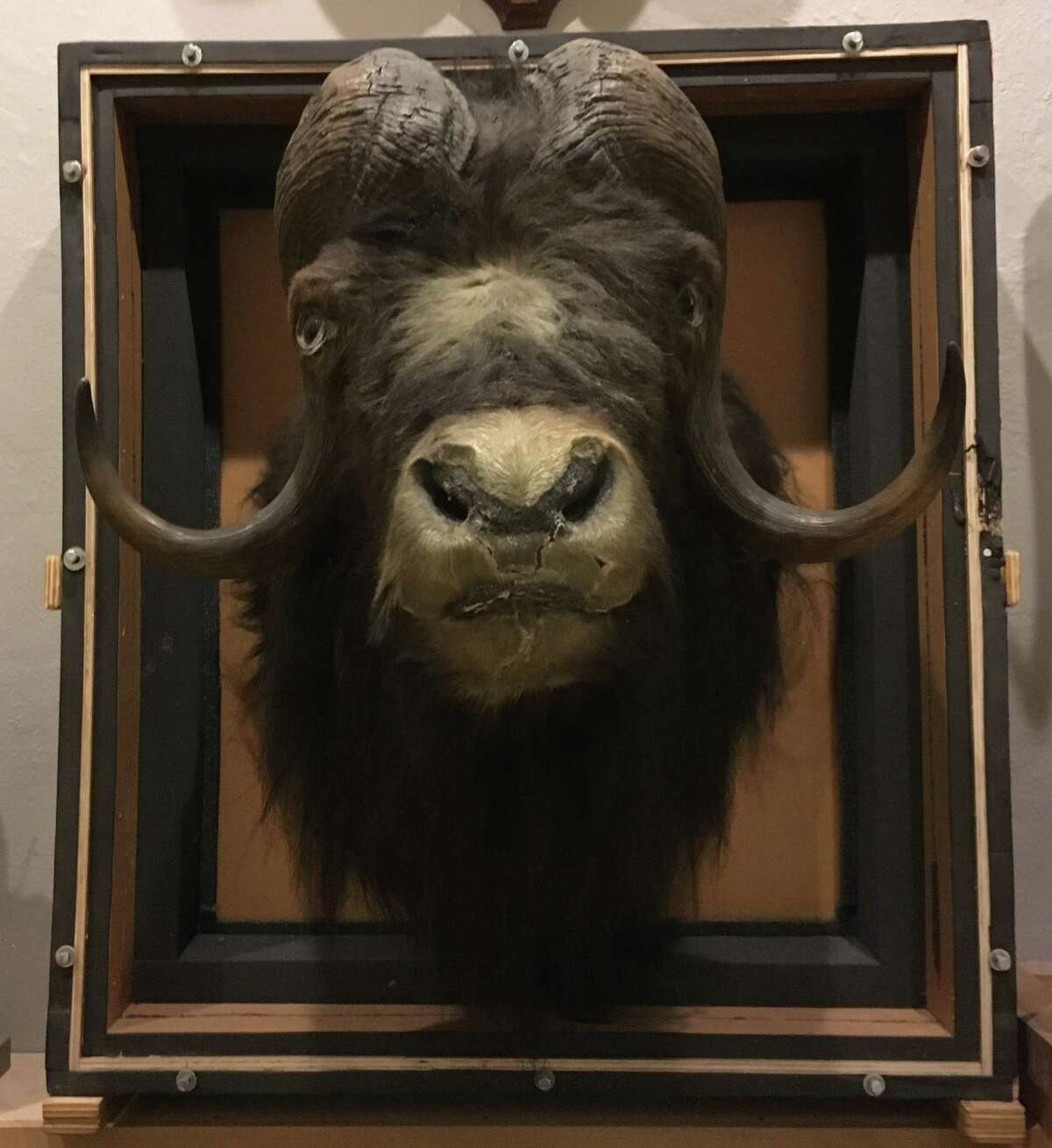 A taxidemied musk ox is among the natural-history displays at the Berkshire Museum. (Steve Barnes/Times Union)
