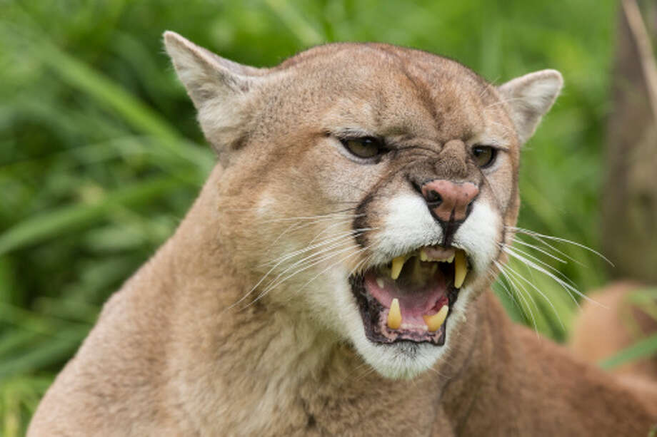Oregon may have a fondness for ducks and beavers, but there's plenty of dangerous wildlife out there: From rattlesnakes and cougars to bees and bears, the Beaver State is home to a lot of lethal wildlife. Plan your camping trips accordingly. Photo: Getty Images