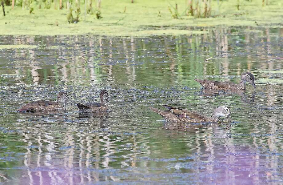 A female wood duck and her offspring swim placidly at Mud Creek Public Access. Photo: Bill Diller/For The Tribune