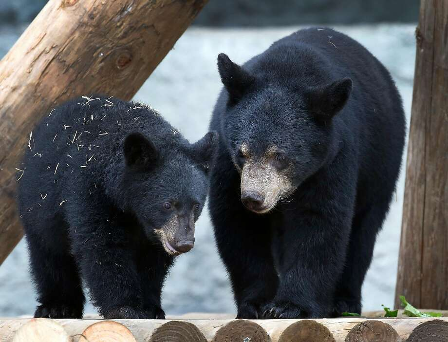 Orphaned black bear cubs Juneau (left), a 40-pound female, and Valdez, a 90-pound male, explore their new home at the San Francisco Zoo.  They're named for the areas of Alaska where they were found. Photo: Paul Chinn, The Chronicle