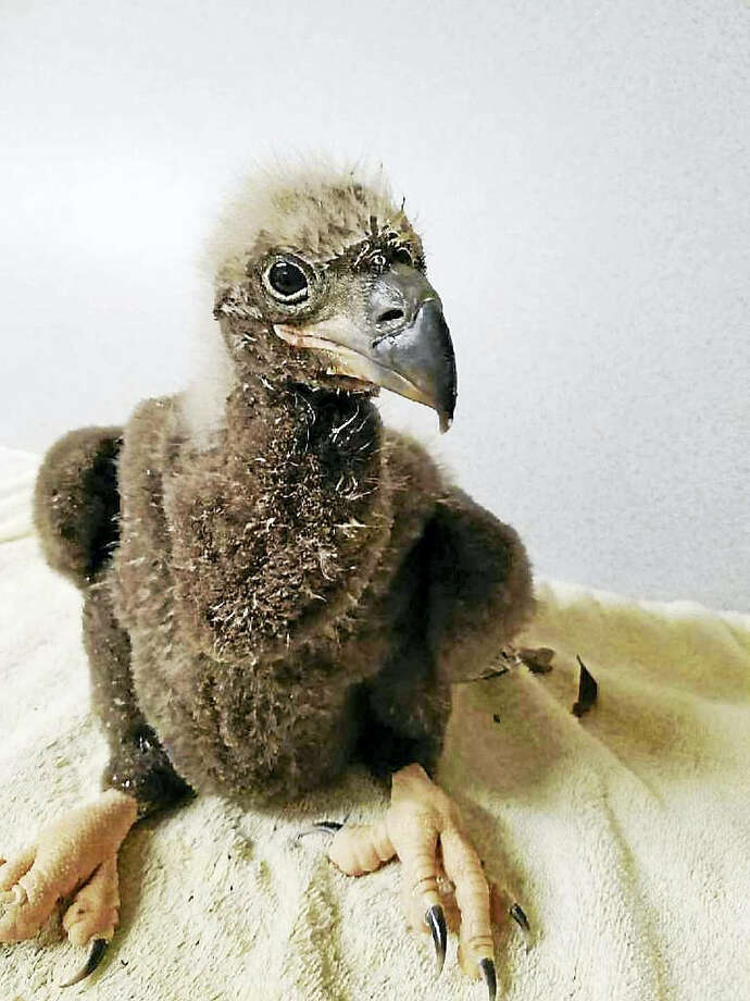 DC4, a baby eaglet, after being rescued from a nest after it got its foot caught in a tree limb. It appears not to have broken any bones. Photo: Courtesy Of Al Cecere — American Eagle Foundation  / The Washington Post