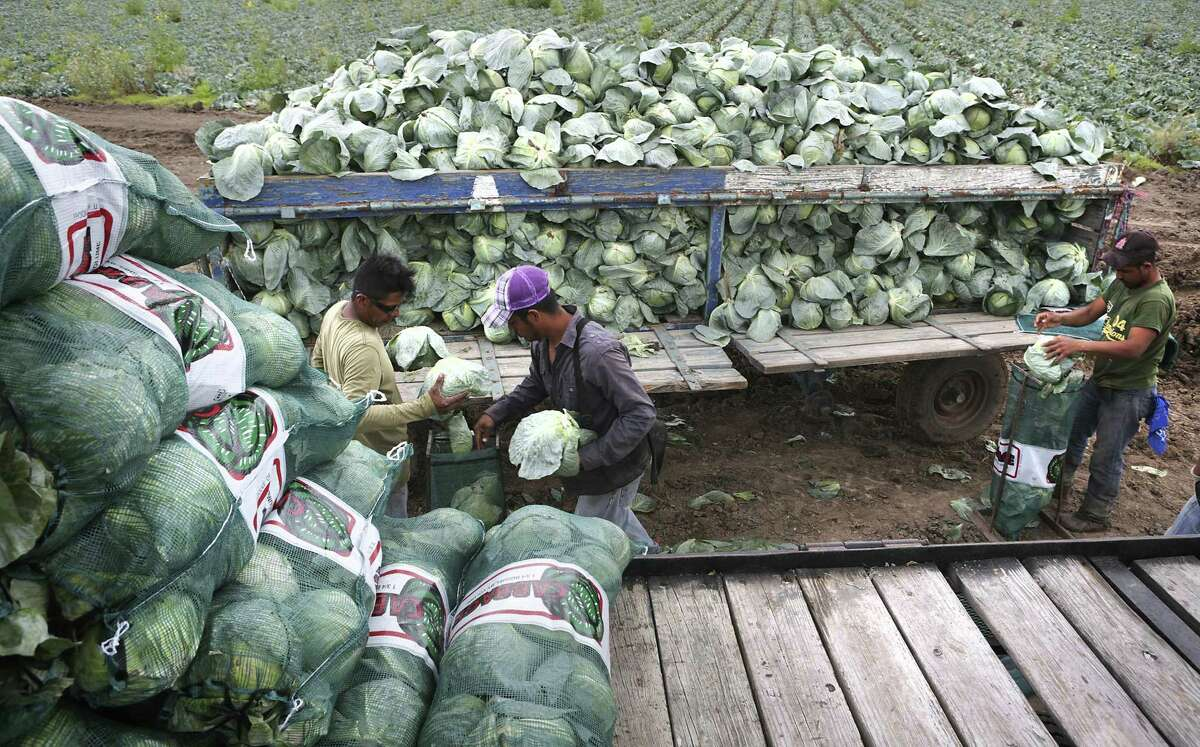 Undocumented migrant workers harvest cabbage in a field near Mission, Texas. A study by the Migration Policy Institute found that the percentage of undocumented farmworkers has dropped, from 55 percent in 2000 to 47 percent in 2014.