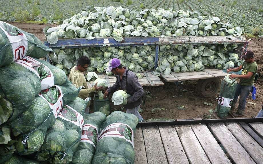Undocumented migrant workers harvest cabbage in a field near Mission, Texas. A study by the Migration Policy Institute found that the percentage of undocumented farmworkers has dropped, from 55 percent in 2000 to 47 percent in 2014. Photo: Bob Owen /San Antonio Express-News / ©2017 San Antonio Express-News