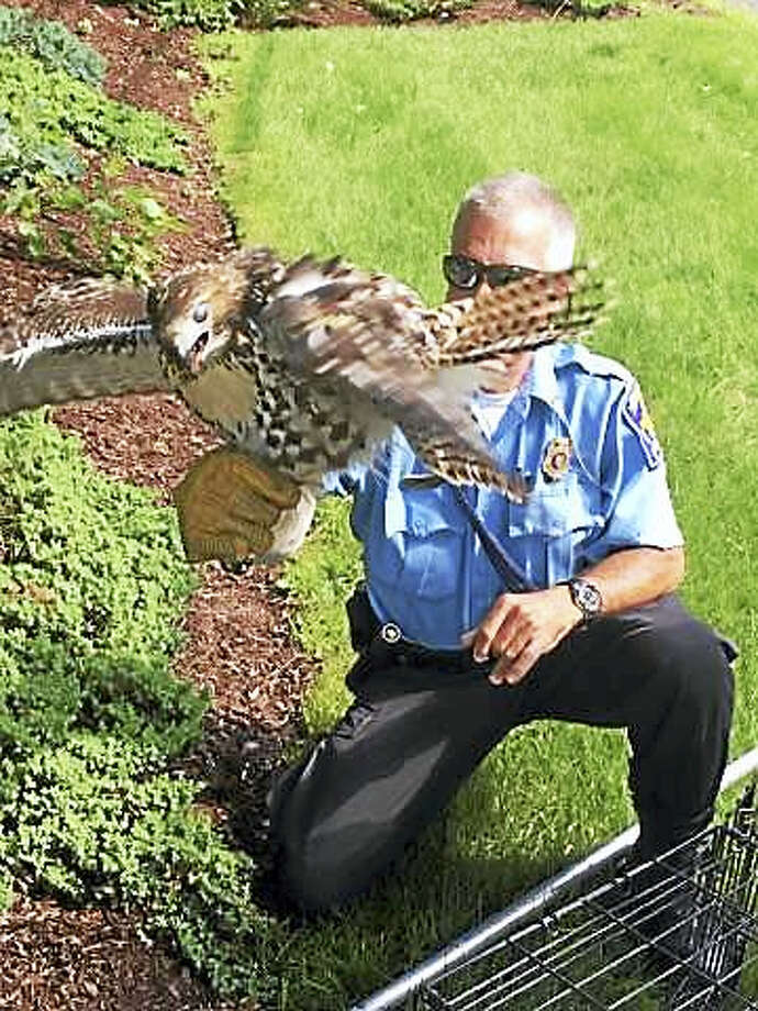 Animal control responded to an injured red-tailed hawk. Photo: Photo Courtesy Of Hamden Animal Control