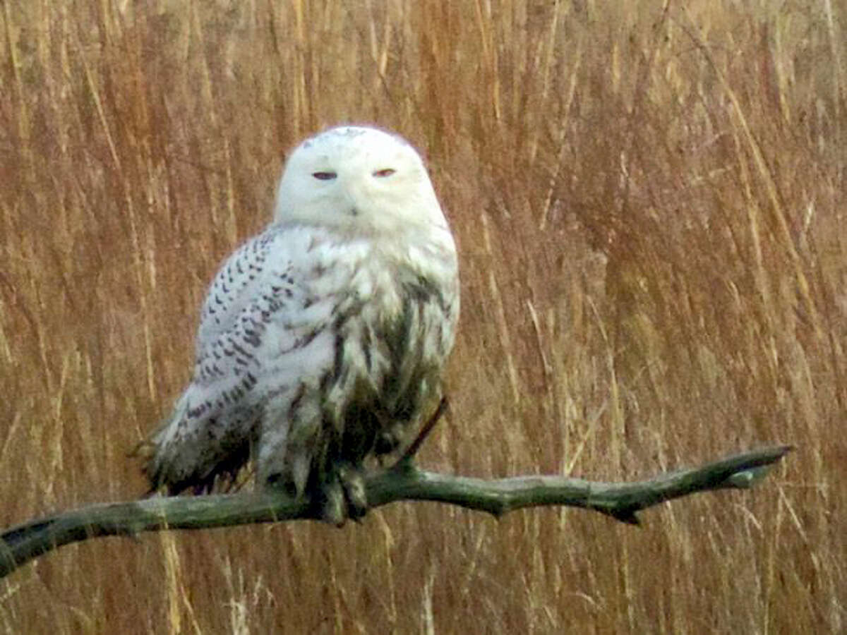 A snowy owl at the Edwin B. Forsythe National wildlife refuge in New Jersey.
