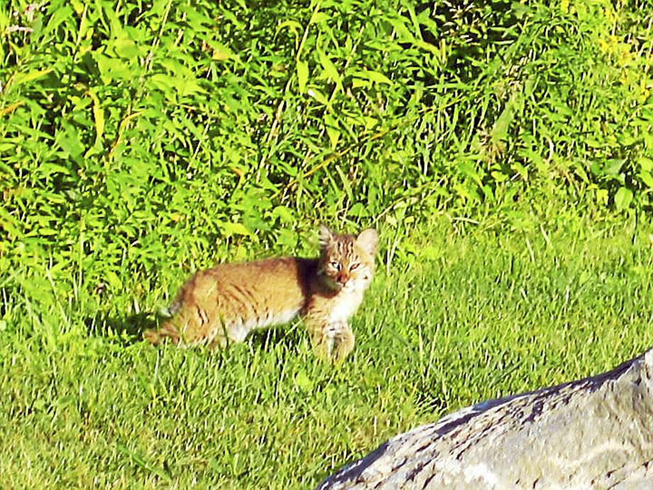 A Connecticut bobcat Photo: Contributed Photo