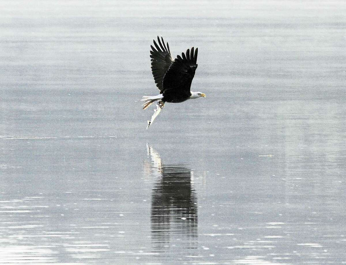 Contributed photo Connecticut River Cruises will begin their winter wildlife cruises on Feb. 4, departing from the Connecticut River Museum in Essex and providing an opportunity to observe bald eagles, other birds and wildlife.