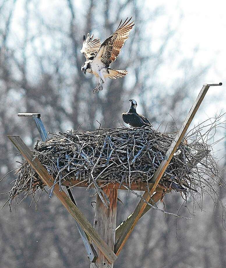 A pair of Ospreys prepare their nest to have young on a stand at the West River Memorial Park in New Haven in this 2014 file photo. Photo: New Haven Register File Photo