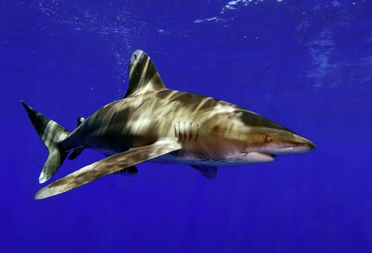 In this June 21, 2008, photo provided by the University of Miami Rosenstiel School of Marine and Atmospheric Science, a whitetip shark swims off Cat Island in the Bahamas. The National Marine Fisheries Service said in December 2016 that the sharks are likely to become endangered. Threats to the sharks include fishing pressure all over the world, as their fins are prized in Asian markets for use in soup.