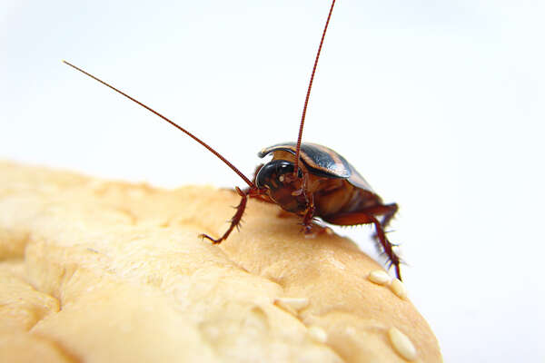 Palmetto Roach chowing down on your sandwich