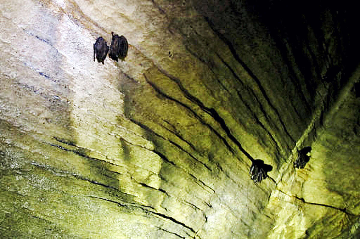 "FILE - In this May 8, 2014, file photo, bats hang from the ceiling of a cave in Dorset, Vermont. A newly revised report shows no improvement in the population of cave-dwelling bats in Connecticut. The Connecticut Council on Environmental Quality is warning that the continued absence of bats will be a ""boon to nocturnal moths and beetles"" that threaten to infest forests and crops. Cave-dwelling bats in Connecticut and a growing number of states have been decimated by a fungal disease known as white-nose syndrome."