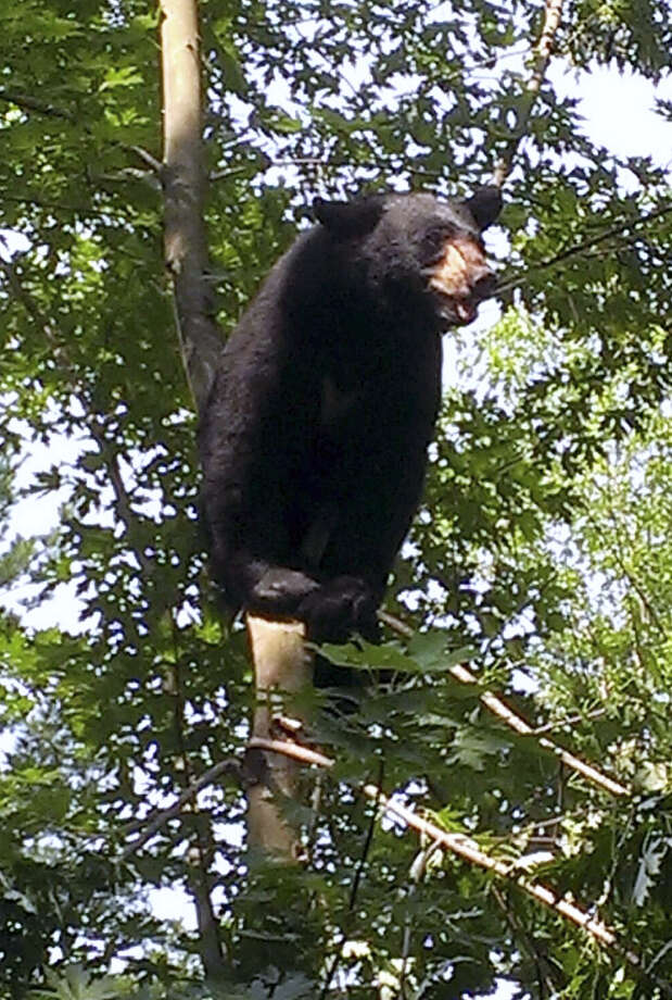 FILE - In this July 5, 2015 photo provided by the Hartford Police Department, a black bear sits perched in a tree in Hartford, Conn. The bear was safely tranquilized and relocated by state environmental officers. The state Department of Energy and Environmental Protection said there were about 6,700 black bear sightings in 2016, a 49 percent increase over the previous year. Photo: Contributed Photo / Hartford Police Department
