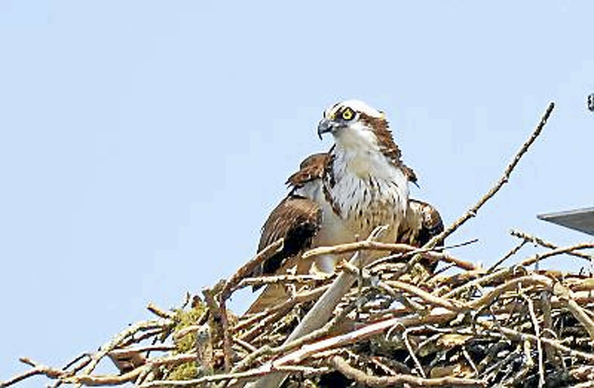 Ospreys like this one are making their way back to the Connecticut River.