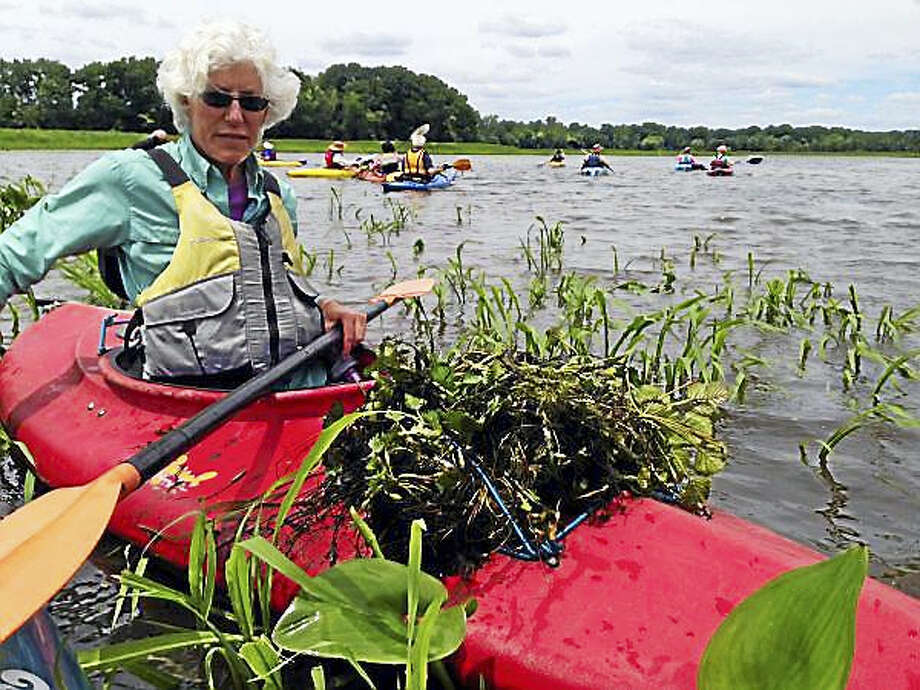 Volunteers are helping this year's effort to remove invasive water chestnut plants in Middletown. Photo: Contributed Photo