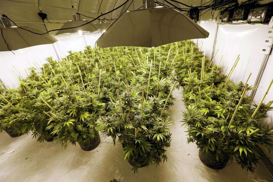 In this photo taken Tuesday, Jan. 13, 2015, marijuana plants sit under powerful growing lamps at the Pioneer Production and Processing marijuana growing facility in Arlington, Wash. Photo: AP Photo — Elaine Thompson / AP
