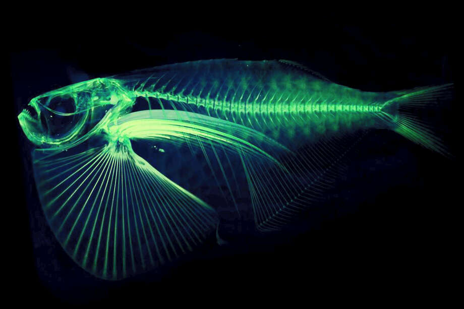 "In this undated image provided by Adam Summers, a University of Washington professor in the department of Biology and the School of Aquatic and Fisheries Sciences, a scan of the Thoracocarax Stellatus species of fish is shown, with color added by computer to enhance the rendering of the structure of the bones. Summers is using a micro computed tomography, also known as ""CT,"" scanner at a lab on Washington's San Juan Island as part of an ambitious project to scan and digitize more than 25,000 species in the world. Photo: Adam Summers/University Of Washington Via AP  / University of Washington"