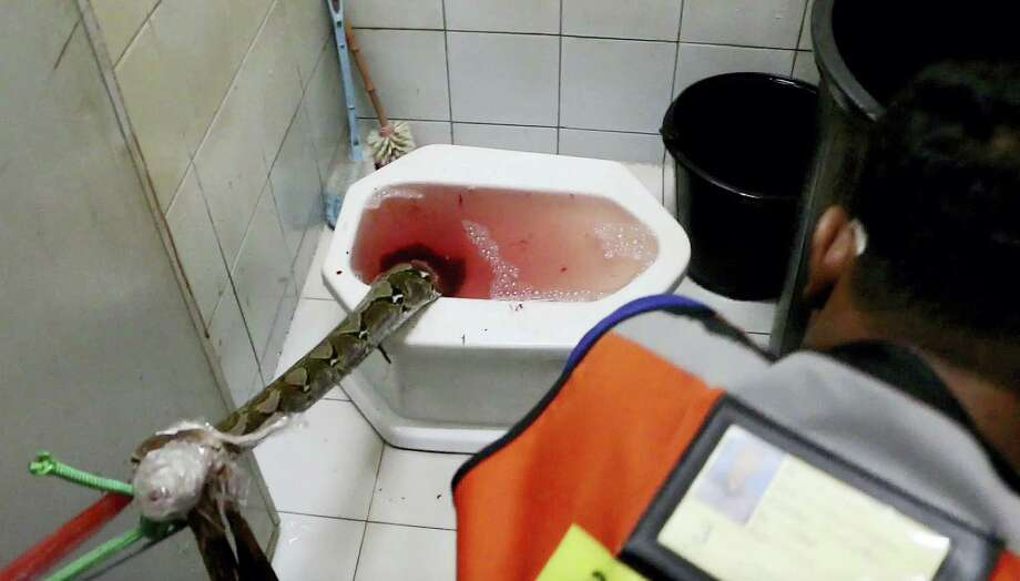 In this image made from video, rescue workers attempt to remove a python from a toilet in a home in Chachoengsao, 90km east of the capital Bangkok, Wednesday, May 25, 2016. A Thai man is recovering from a bloody encounter with a 3-meter (10-foot) python that slithered through the plumbing of his home and latched its jaws onto his penis as he was using a squat toilet. Photo: BBTV CH7 Thailand Via AP   / BBTV CH7 Thailand