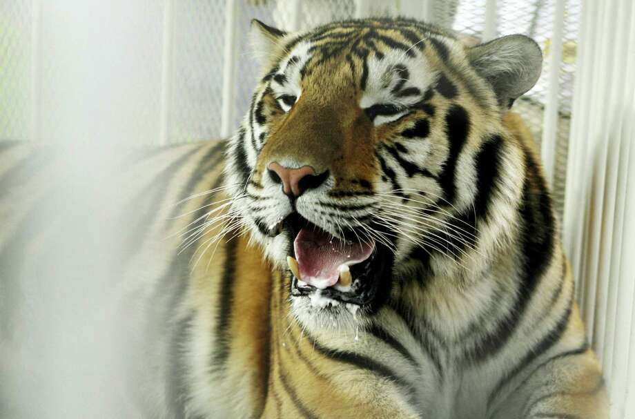 In this 2007 file photo, LSU mascot Mike VI, a part Bengal and Siberian tiger, sits in his cage before a game between LSU and Florida in Baton Rouge, La. Photo: The Associated Press File Photo  / Copyright 2016 The Associated Press. All rights reserved. This material may not be published, broadcast, rewritten or redistribu