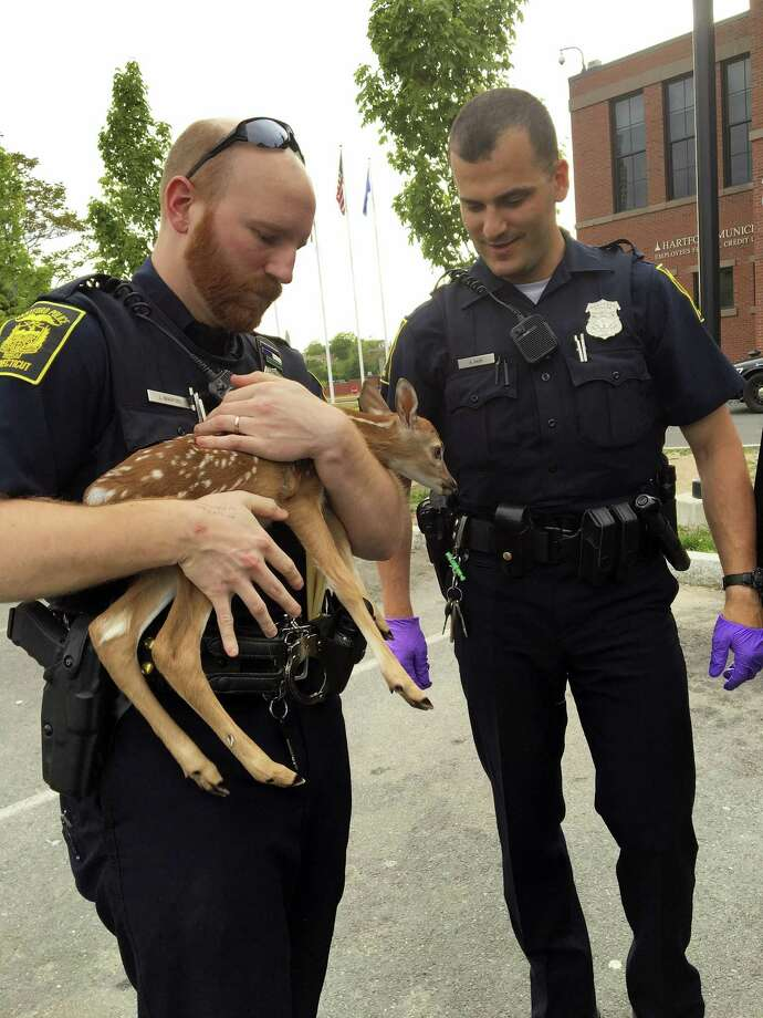 In a photo provided by the Hartford, Conn., Police Department, police hold a fawn that was rescued by a resident after it was found on the highway next to its mother, who had been hit by a car. It has been brought to a rescue farm. (Hartford Police Department via AP) Photo: AP / Hartford Police Department