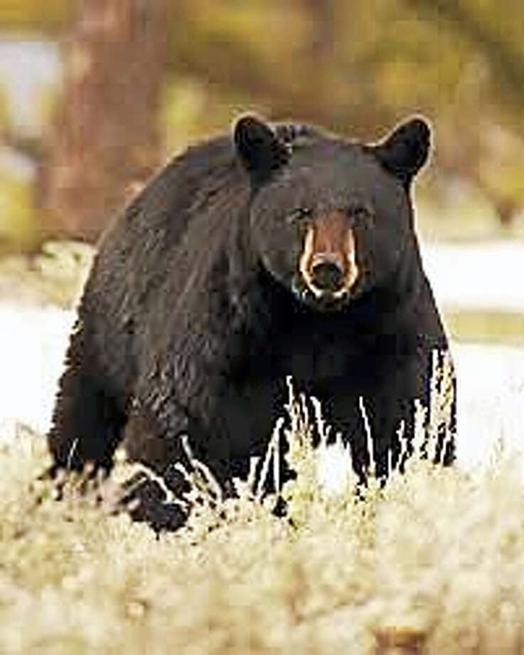 BETTER CUTLINEA free, illustrated talk on black bears in the state will be presented by Master Wildlife Conservationist Paul Colburn at 6:30 p.m. Jan. 26 at the Essex Library, 33 West Ave. Coburn will focus on the natural history, habitat, diet, behavior of the animals, with information on research and co-existence with the bears. RSVP: 860-767-1560. Photo: Journal Register Co.