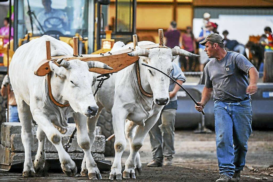 A handler leads an ox pull at the fair. Photo: Contributed
