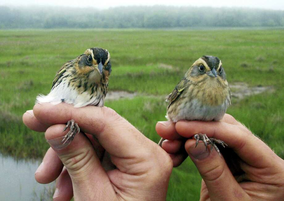 This May 2012 photo provided by Saltmarsh Habitat and Avian Research Program shows saltmarsh sparrows in their coastal habitat. Scientists say the population of the birds, which live in coastal areas from Maine to Virginia, is declining. Photo: Kate Ruskin — Saltmarsh Habitat And Avian Research Program Via AP / Saltmarsh Habitat and Avian Research Program