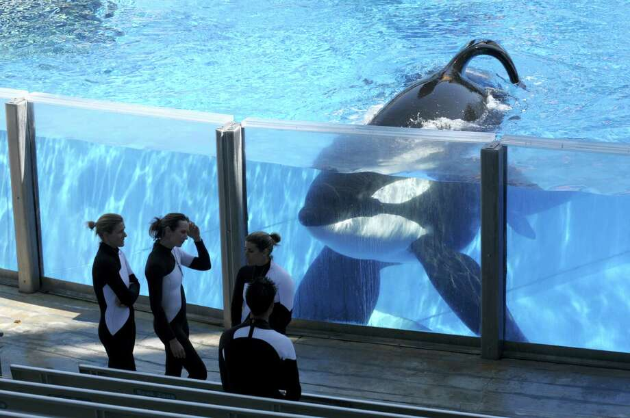 In this Monday, March 7, 2011 photo, killer whale Tilikum, right, watches as SeaWorld Orlando trainers take a break during a training session at the theme park's Shamu Stadium in Orlando, Fla. Troubled theme park operator SeaWorld says it will soon stop paying its shareholders a quarterly dividend. It will pay its last dividend on Oct. 7, 2016, and the amount it pays will be cut 52 percent to 10 cents from 21 cents in the previous quarter. Photo: AP Photo/Phelan M. Ebenhack, File  / FR121174 AP