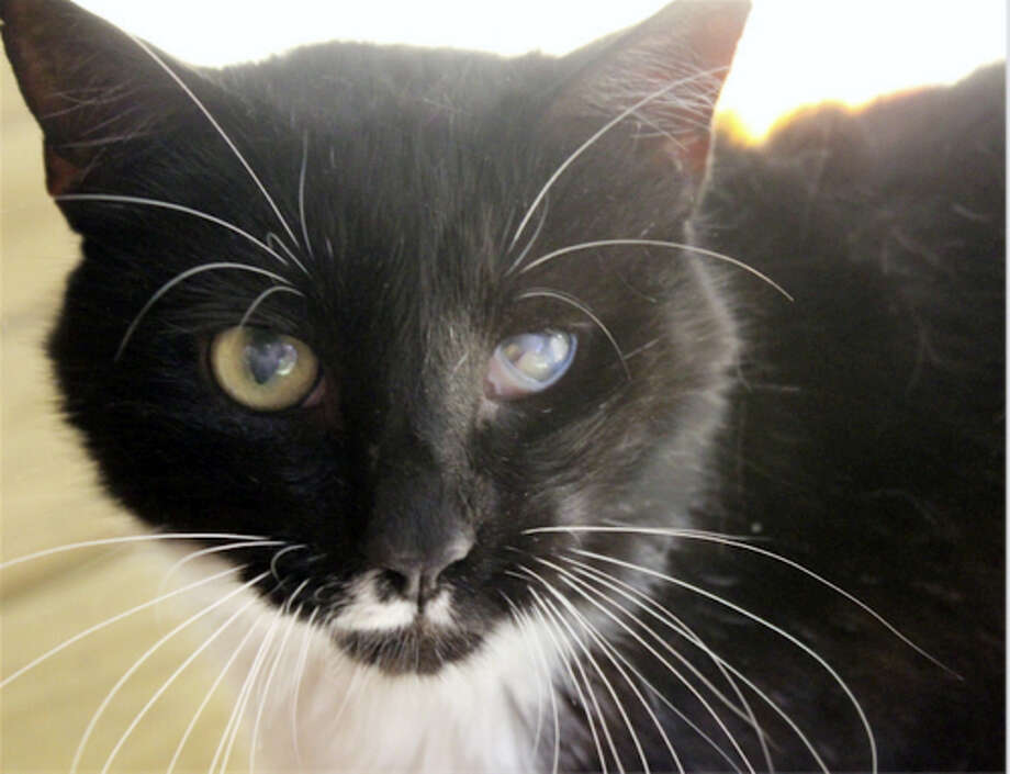 Breed: DSHColor: Black & WhiteAge:6 years oldI'm a very sweet boy who loves attention. I'll gently paw you to keep petting me if you stop and I'm very snuggly! I need a quiet home with a patient, cat experienced person who will give me time to adjust. I'm FIV+ but people can't catch this and it's difficult for other cats to catch. I have lots of love to give, so come meet me and see for yourself!No DogsNo ChildrenFIVFor more about FIV, please visit: http://www.CatTalesCT.org/fiv-felv/Web:  http://www.CatTalesCT.org/cats/LARRYPhone:  (860) 344-9043Email:  ??Info@CatTalesCT.org?See our commercial! https://youtu.be/Y1MECIS4mIc Photo: Journal Register Co.