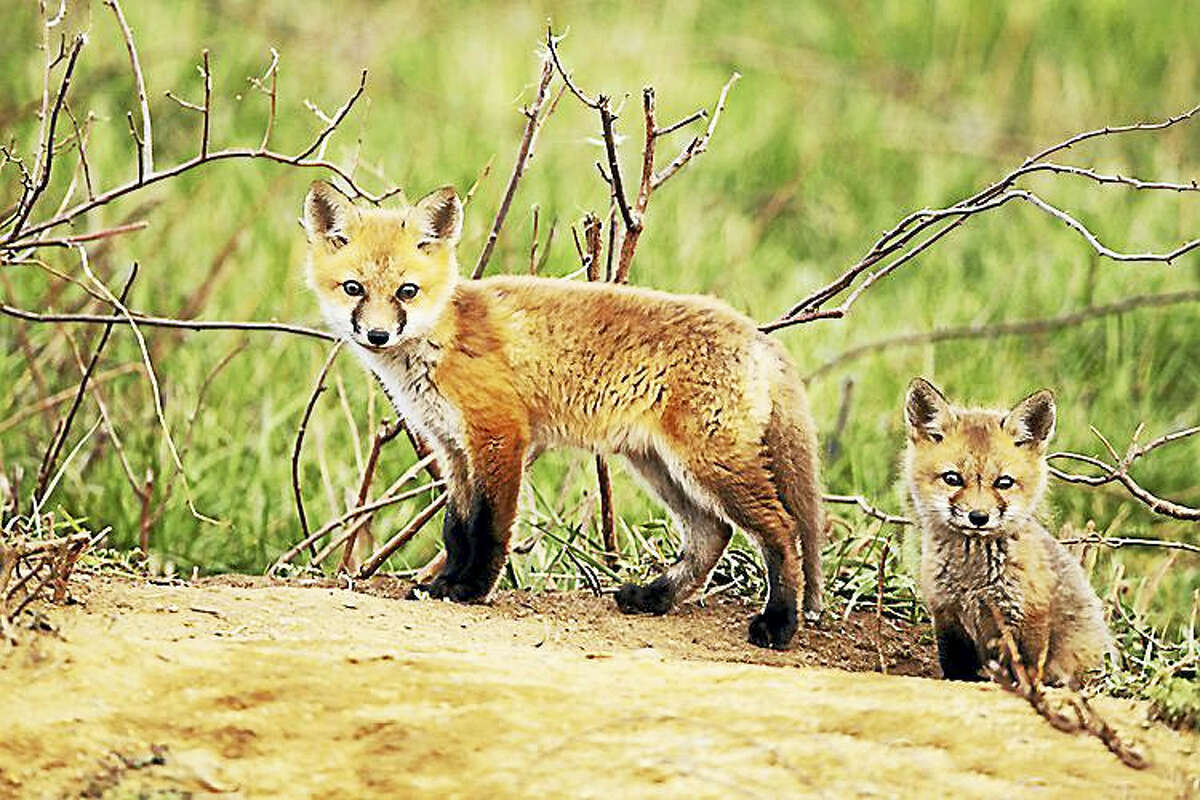 Red foxes in Connecticut.