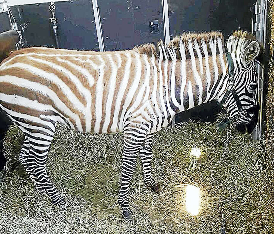 Zula, a 5-month-old zebra, was found dead on state land. Photo: Richard Mayer - Daily Freeman