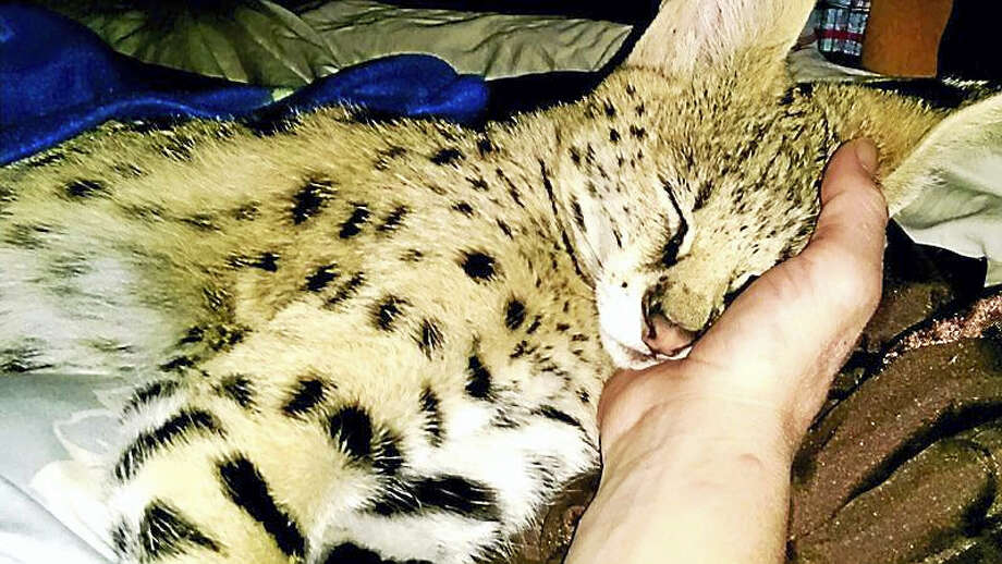 Noah, an African serval, was seized earlier this month by EnCon police from a Middletown family. The owner was arrested for possession of a dangerous animal. Photo: Courtesy Change.org