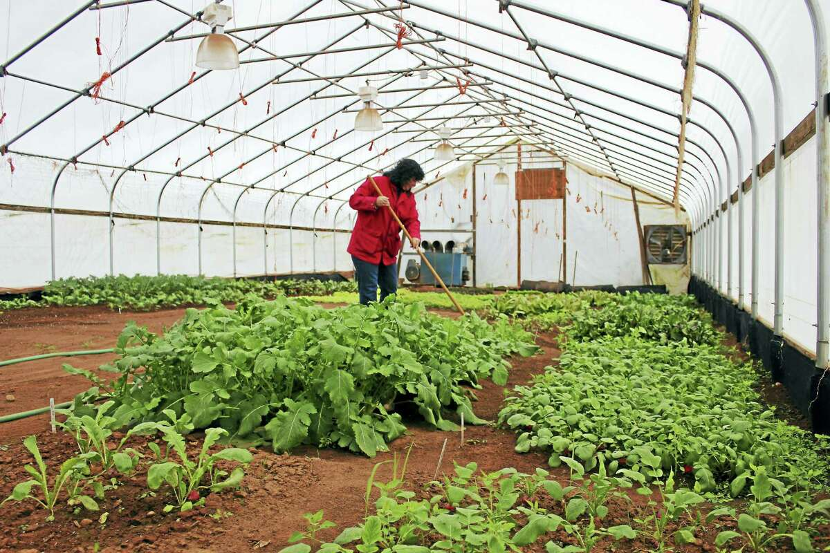 The greenhouse is full of vegetable greens for those who prefer an organic selection year round.