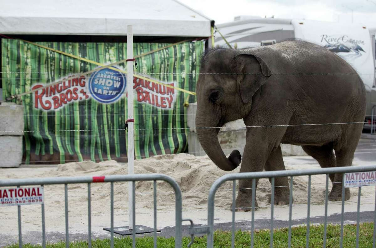In this Jan. 8, 2016 photo, a young Asian elephant named April belonging to Ringling Bros. and Barnum & Bailey Circus, plays in the sand in her enclosure outside the American Airlines Arena in Miami.