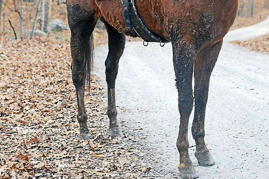 Trisha was safely removed home and returned to her owners. The 27-year-old quarter horse was unable to move after sinking into mud about three feet deep Sunday on a trail in Cockaponset State Forest in Haddam. Her legs were covered in mud up to her belly. Photo: Courtesy Haddam Volunteer Fire Co.  / Wesleyan University 2015.