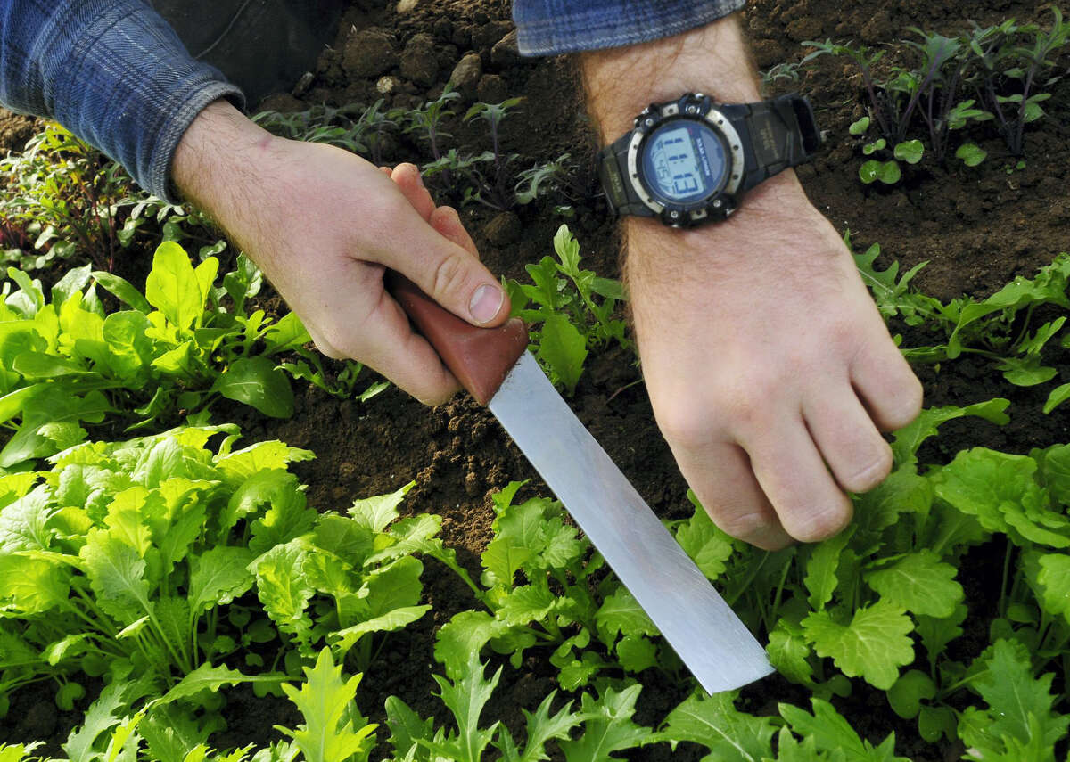 A gardener harvests a salad mix of mustard, kale and arugula as a part of a community supported agriculture program.