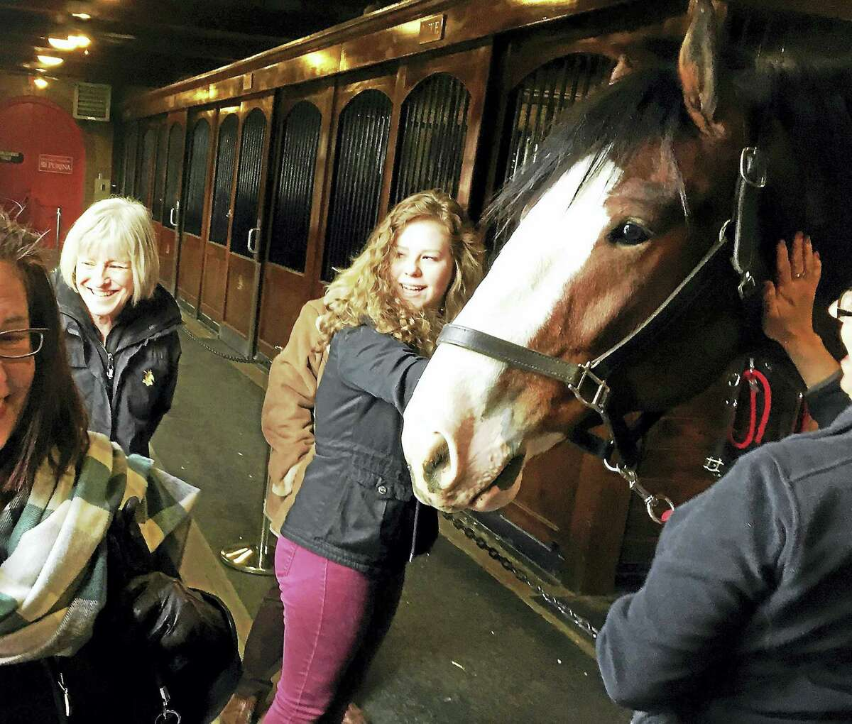 A Clydesdale at the Busch property moves forward a bit to greet entering visitors at the stable door as staff and other visitors react.