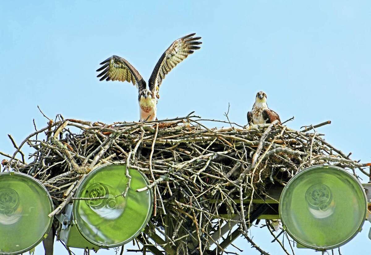Photo of ospreys in Fairfield.