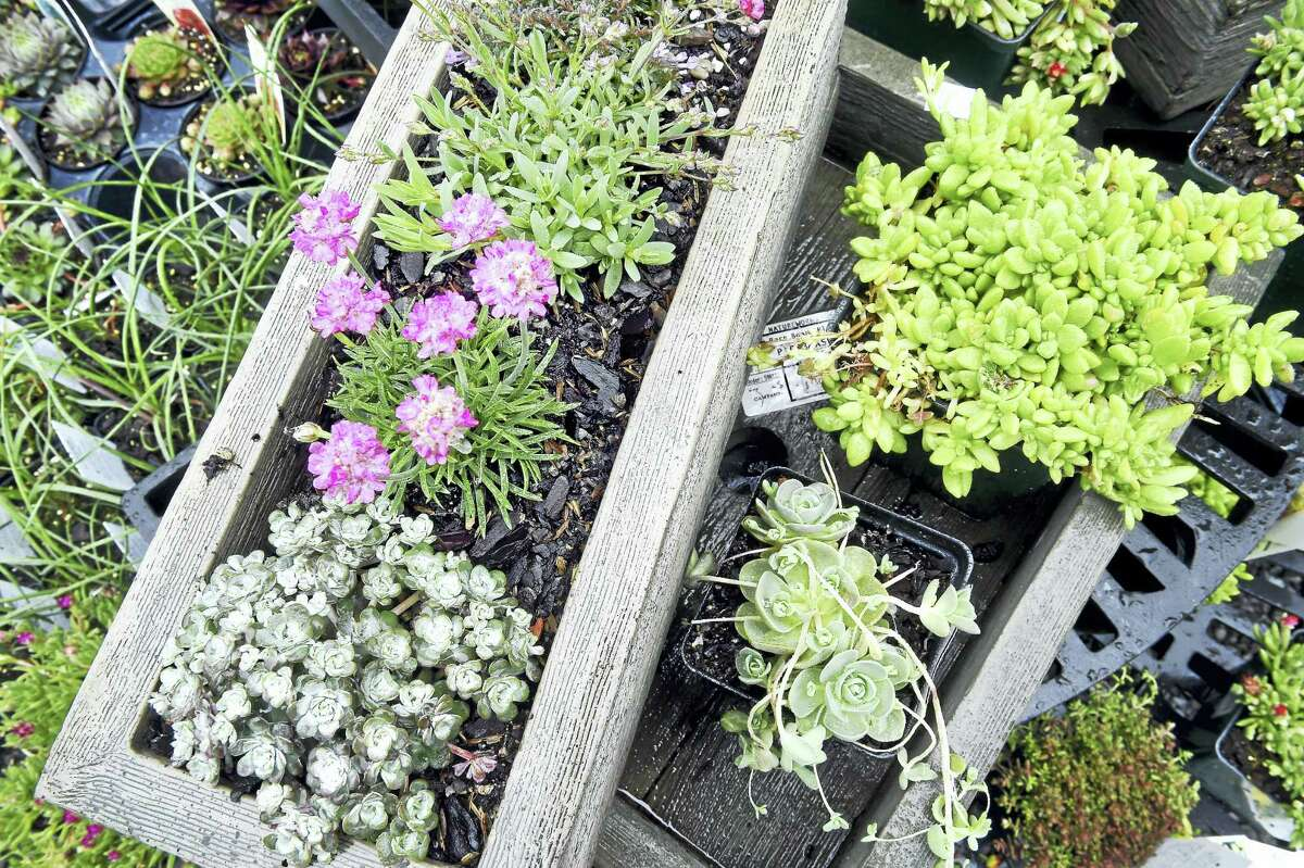 (Arnold Gold-New Haven Register) Alpine plants displayed for sale at Natureworks in North Branford Saturday.