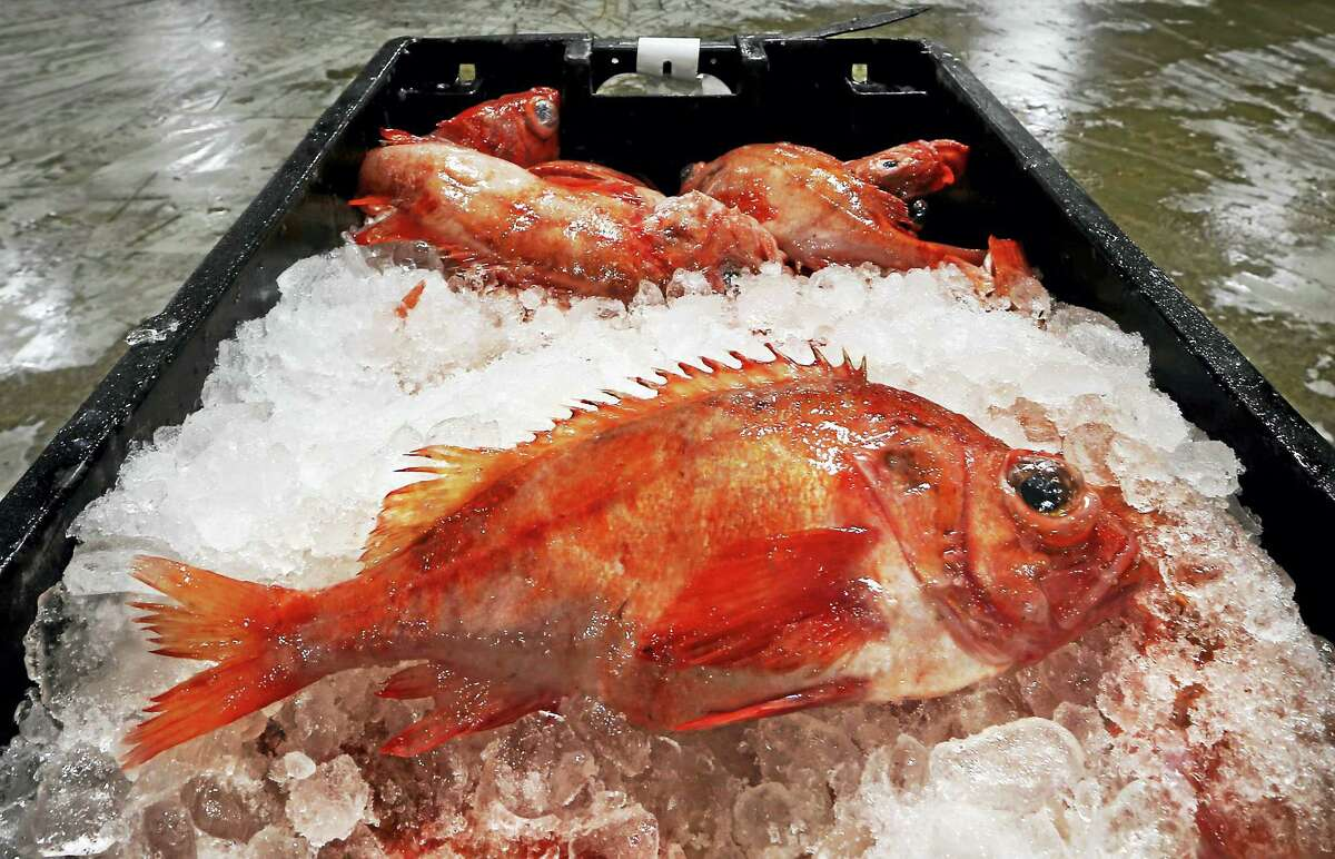 Redfish are displayed at the Portland Fish Exchange in Portland, Maine.