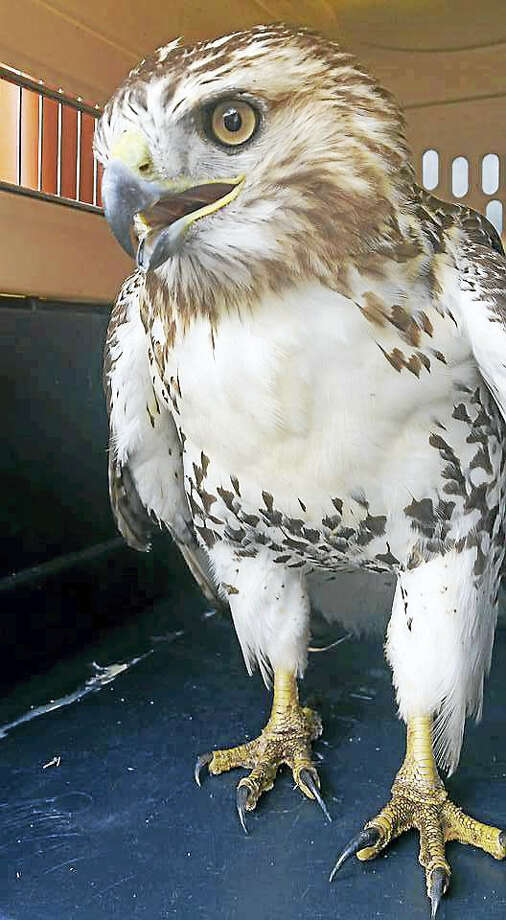 State troopers, the Department of Transportation and state Environmental Conservation Police helped rescue a hawk found walking Wednesday on Interstate 91 near northbound Exit 21. The bird was turned over to animal control officers. Photo: Courtesy Cromwell Animal Control